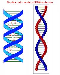 double helix.jpg